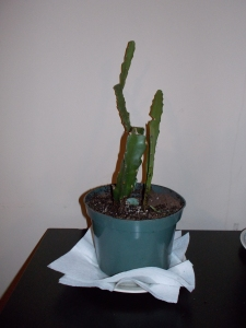 Original state of my cactus after transplant.